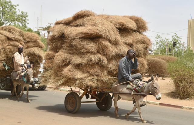 Perché i paesi africani bloccano l'esportazione degli asini in Cina