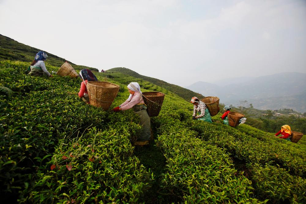 Il giardino del t internazionale - Giardino del te ...