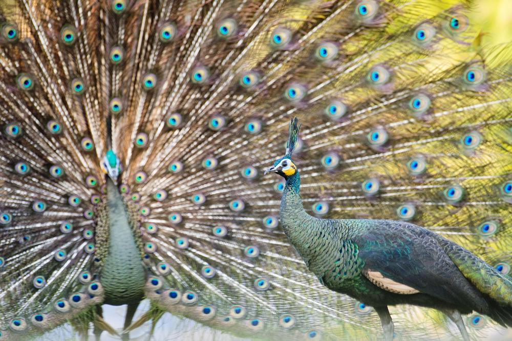 I colori dei pavoni internazionale - Immagini pavone a colori ...