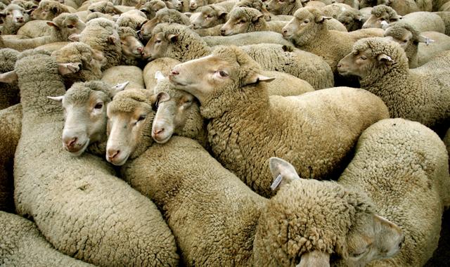 Sette pecore per ogni neozelandese