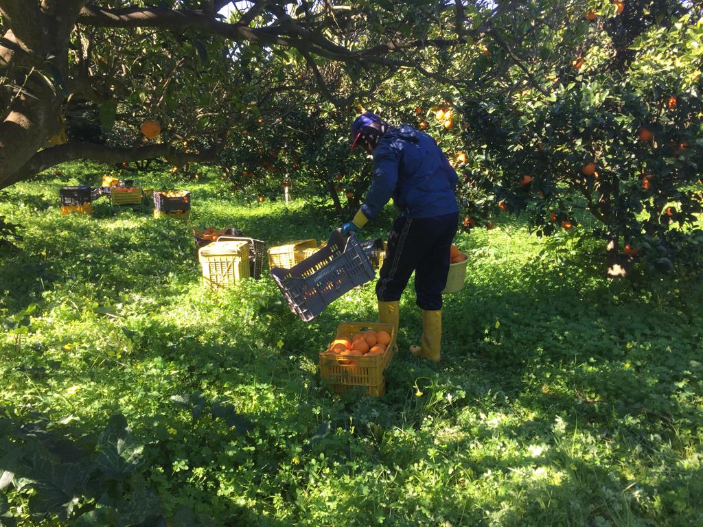 Un bracciante agricolo in un campo di arance vicino a Rosarno.  - Annalisa Camilli, Internazionale