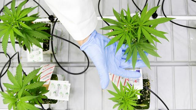 In Canada la cannabis legale può contrastare la dipendenza da oppioidi