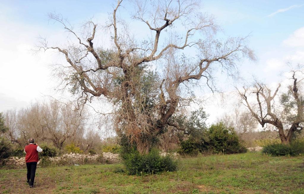 Xylella: il contagio si estende a Matera e Taranto
