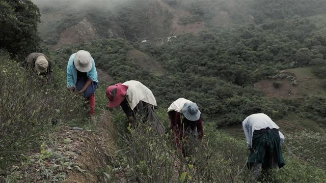 La coca in Bolivia aiuta i contadini ma alimenta il narcotraffico