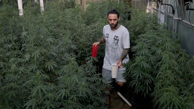 In Uruguay la cannabis di stato è un successo a metà